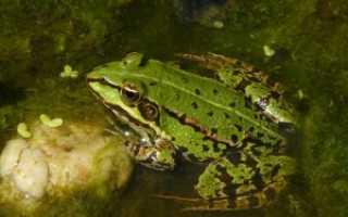 Как поймать лягушку в пруду