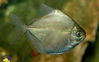 Зеркальная рыба