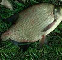 Как выглядит рыба лещ