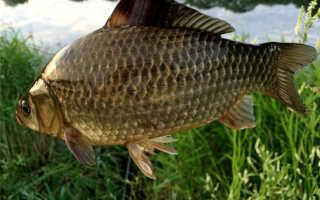 Карась хищная рыба или нет