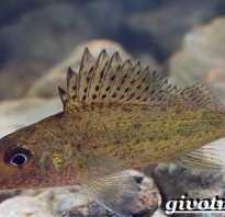 Как выглядит ерш рыба