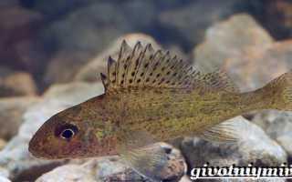 Ершик рыба