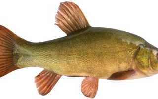 Лин рыба