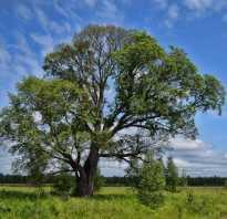 Дерево язь фото
