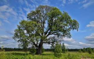 Дерево язь