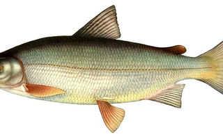 Где водится рыба сиг
