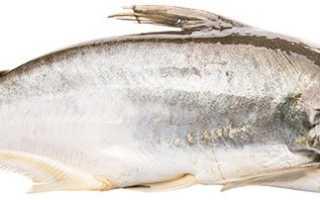 Где водится рыба пангасиус