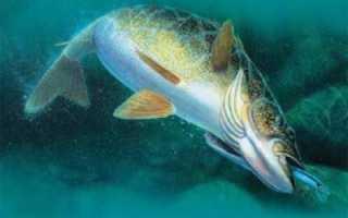 Как ловить судака на спиннинг летом